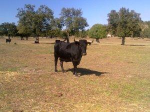 La vaca número 112, de Coquilla de Sánchez-Arjona.